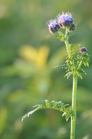 Sunflower_Apple_01112016 (66)