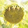 Sun_Flower_Echichens_01092013_0340