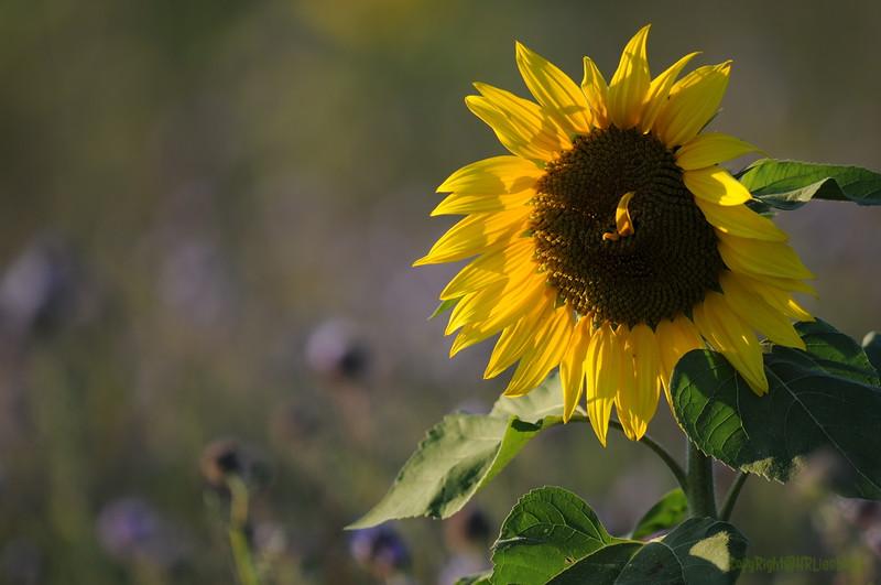 SunflowerFiled_Echichens_0020
