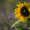 SunflowerFiled_Echichens_0020