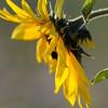 SunflowerFiled_Echichens_0023
