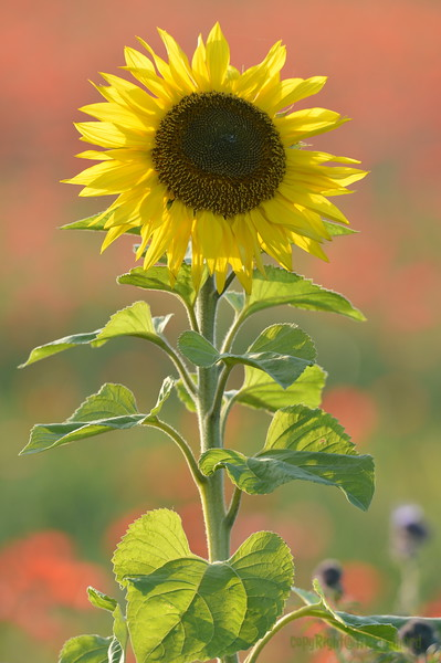 Sunflower_Apple_01112016 (74)