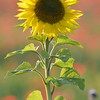 Sunflower_Apple_01112016 (74)