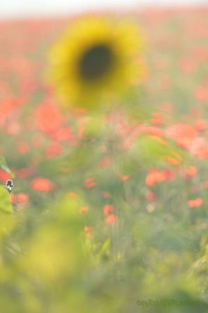 Sunflower_Apple_01112016 (106)