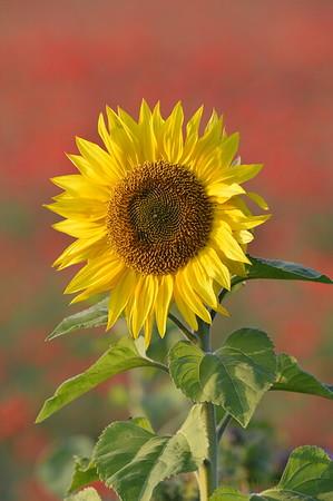 Sunflower_Apple_01112016 (47)