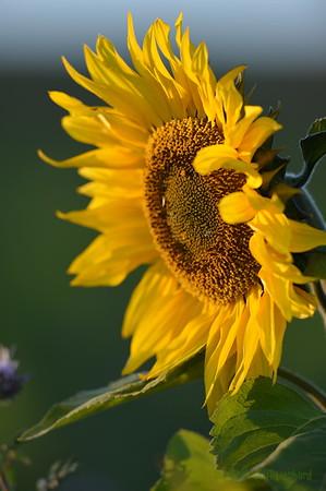 Sunflower_Apple_30102016 (39)