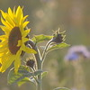 Tournesol_Facilea_Champs_Denens_Oct-2008_0007
