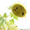 Sun_Flower_Echichens_01092013_0355