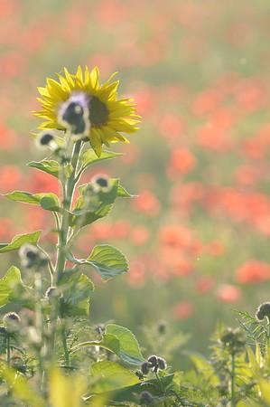 Sunflower_Apple_01112016 (84)