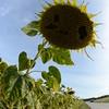 Sun_Flower_Echichens_01092013_0354