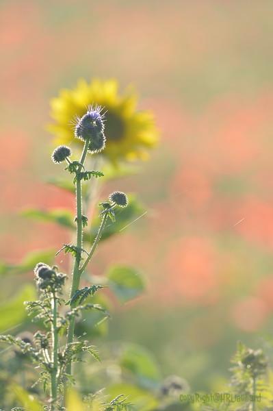 Sunflower_Apple_01112016 (90)