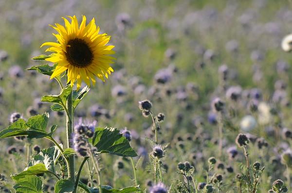 SunflowerFiled_Echichens_0008