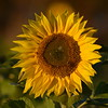 Sunflower_Apple_30102016 (45)