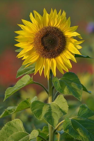 Sunflower_Apple_01112016 (24)