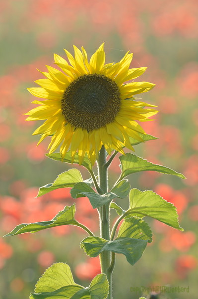 Sunflower_Apple_01112016 (95)