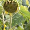 Sun_Flower_Echichens_01092013_0306