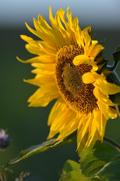 Sunflower_Apple_30102016 (40)