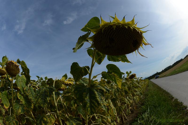 Sun_Flower_Echichens_01092013_0353