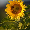 Sunflower_Apple_30102016 (25)