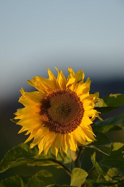 Sunflower_Apple_30102016 (19)