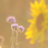 Tournesol_Facilea_Champs_Denens_Oct-2008_0012