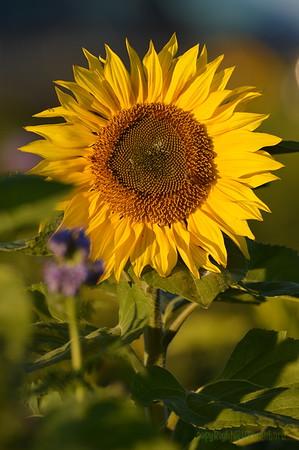 Sunflower_Apple_30102016 (47)