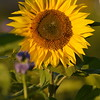 Sunflower_Apple_30102016 (47)