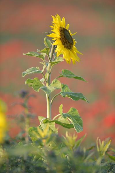 Sunflower_Apple_01112016 (43)