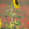 Sunflower_Apple_01112016 (43)