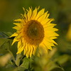 Sunflower_Apple_30102016 (69)