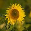 Sunflower_Apple_30102016 (69)