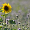 SunflowerFiled_Echichens_0002