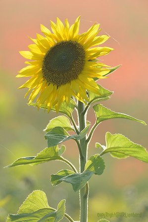 Sunflower_Apple_01112016 (110)