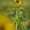 Sunflower_Apple_01112016 (113)