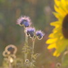 Tournesol_Facilea_Champs_Denens_Oct-2008_0011