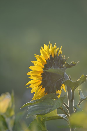 Sunflower_Apple_30102016 (33)