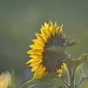 Sunflower_Apple_30102016 (33)