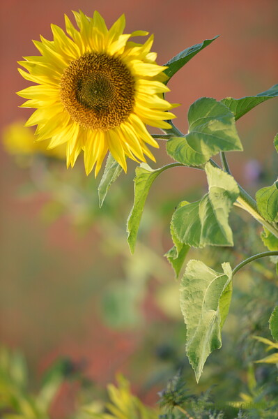 Sunflower_Apple_01112016 (32)