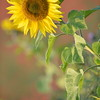 Sunflower_Apple_01112016 (32)