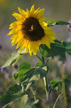 SunflowerFiled_Echichens_0021