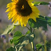 SunflowerFiled_Echichens_0021