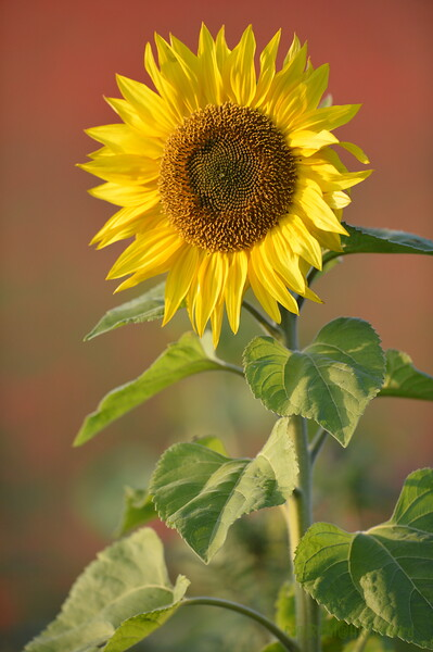 Sunflower_Apple_01112016 (59)