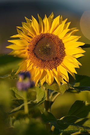 Sunflower_Apple_30102016 (54)
