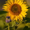 Sunflower_Apple_30102016 (54)