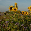 Tournesol_Facilea_Champs_Denens_Oct-2008_0021