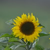 Sunflower_Apple_30102016 (1)
