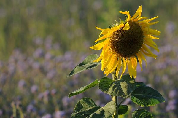 SunflowerFiled_Echichens_0025