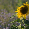 SunflowerFiled_Echichens_0025