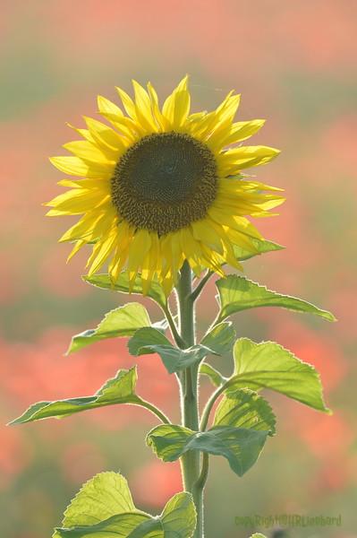 Sunflower_Apple_01112016 (94)