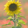 Sunflower_Apple_01112016 (94)